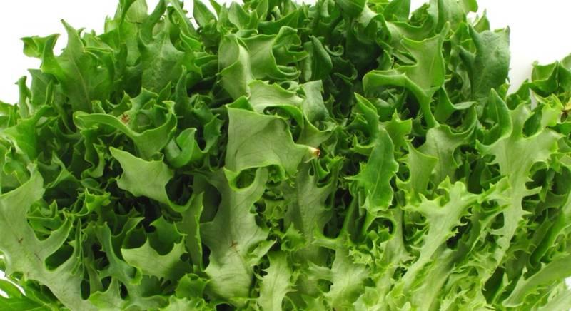 ТОП 3 лучших сорта салата Фризе