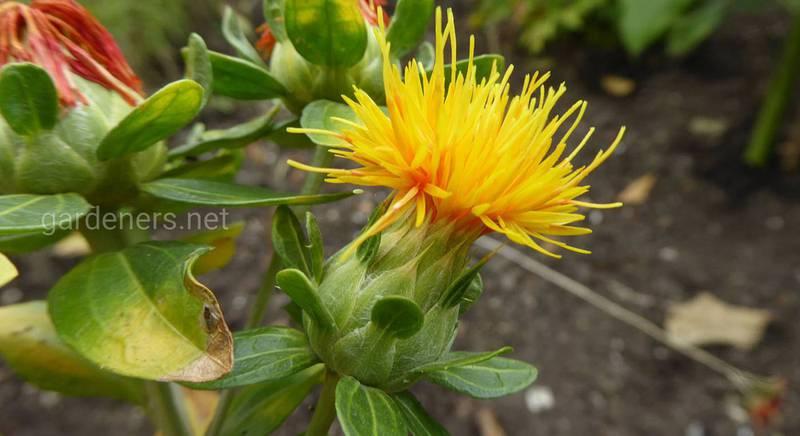 Лекарственное растение сафлор: польза и применение