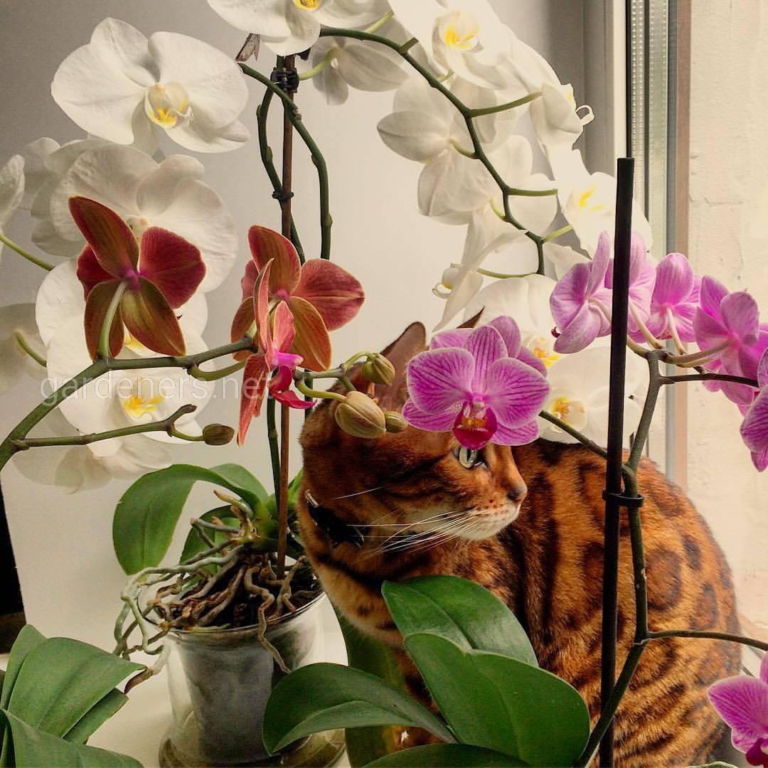 Кошачьи орхидеи (фото Екатерина Черникова)