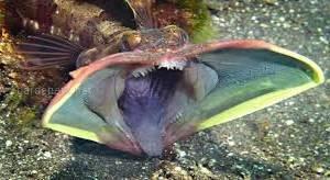 Риба на ім'я саркастичний бахромоголов встановлює домінування... ротом!