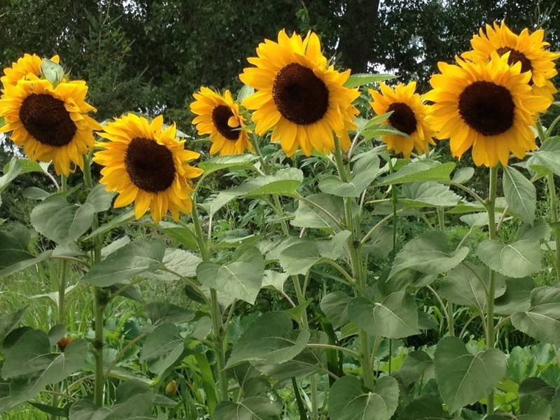 Які потреби в поживних речовинах при вирощуванні коренеплодних культур?