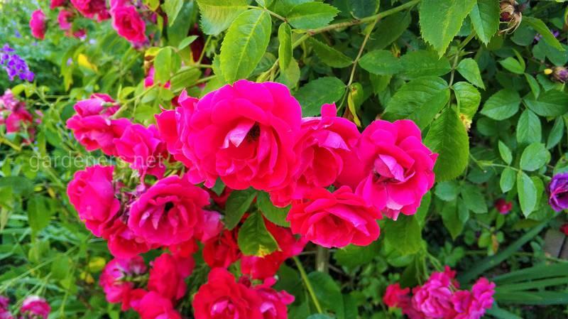 Як правильно проводити обрізку плетистих троянд?