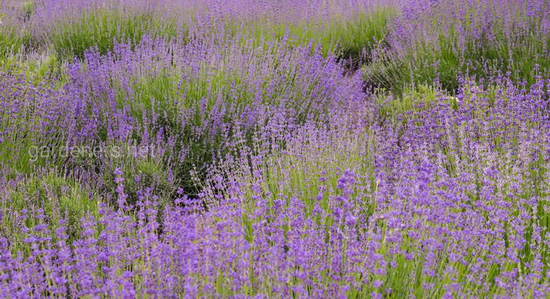 Лаванда - вечнозеленое растение, которое прекрасно переносит засуху!