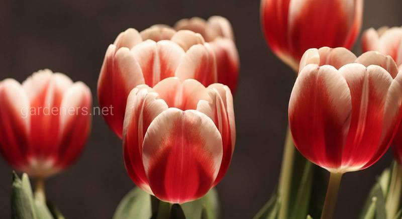 Лучшие сорта тюльпанов для яркой весны
