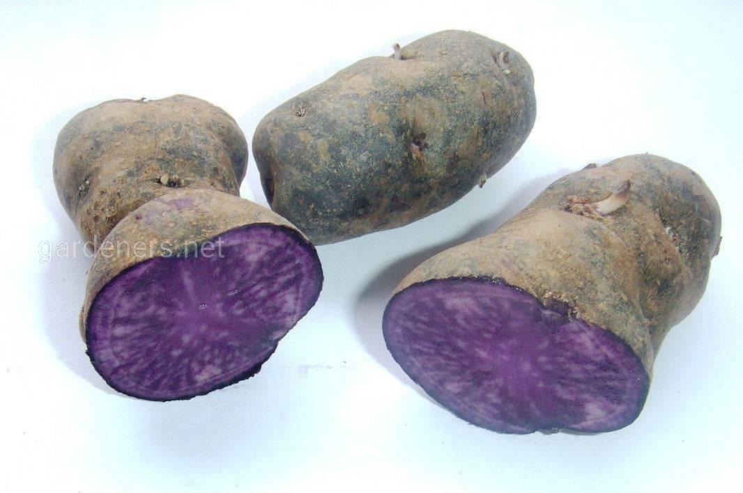 Вителот картофель