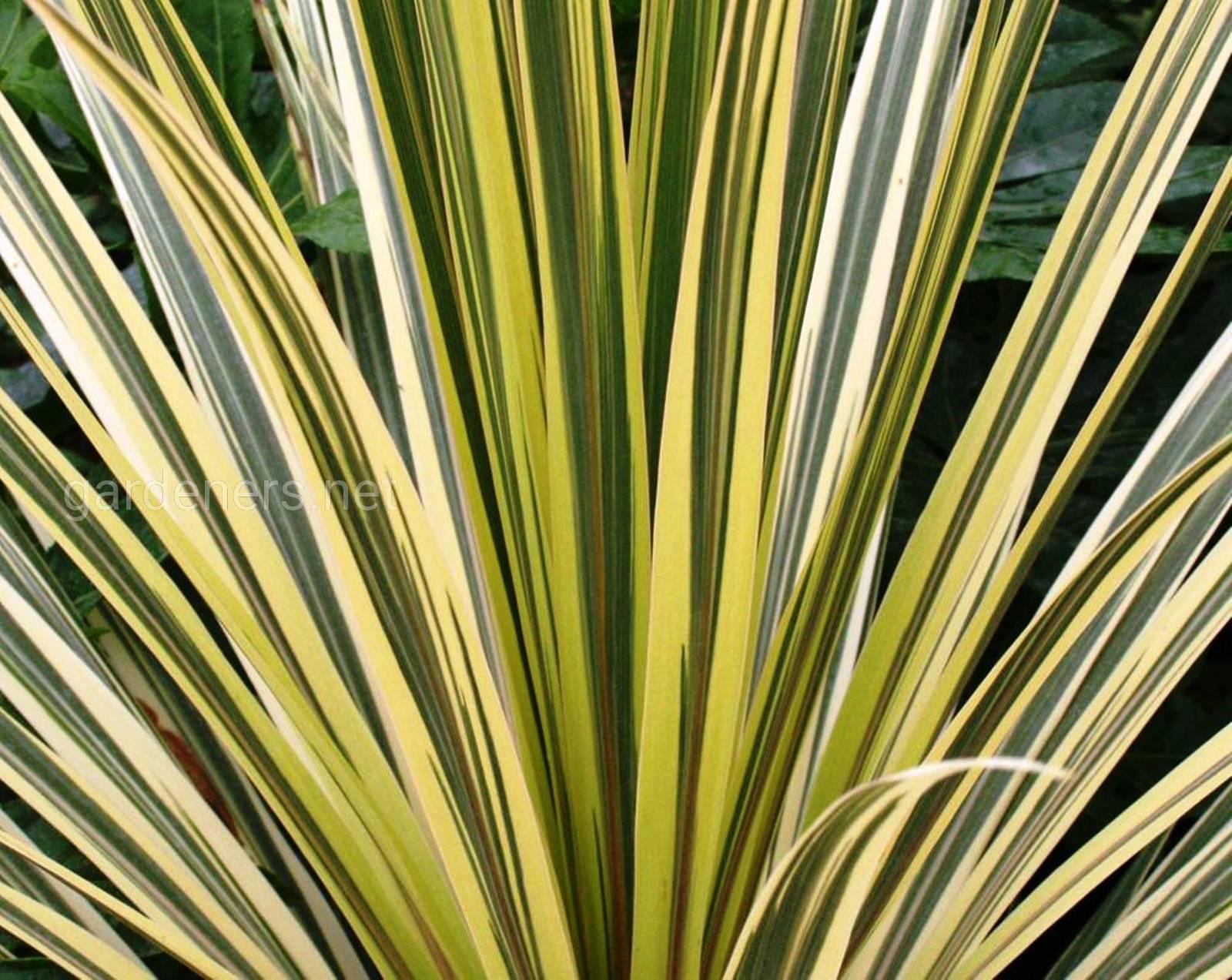 Cordyline australis Torbay Dazzler.jpg