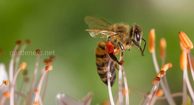 Медоносные и другие виды пчел