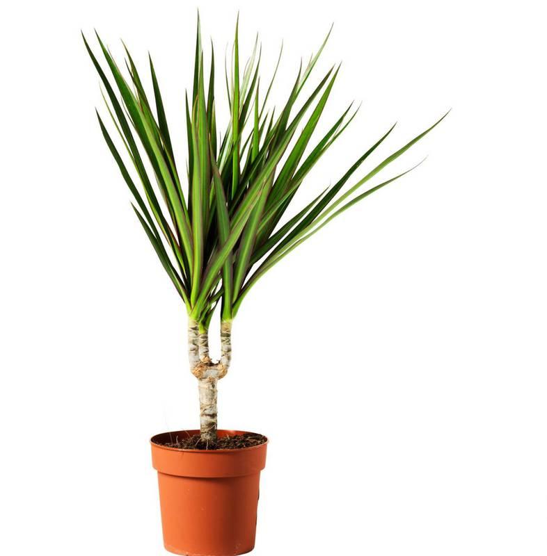 Які кімнатні рослини полюбляють затінок?