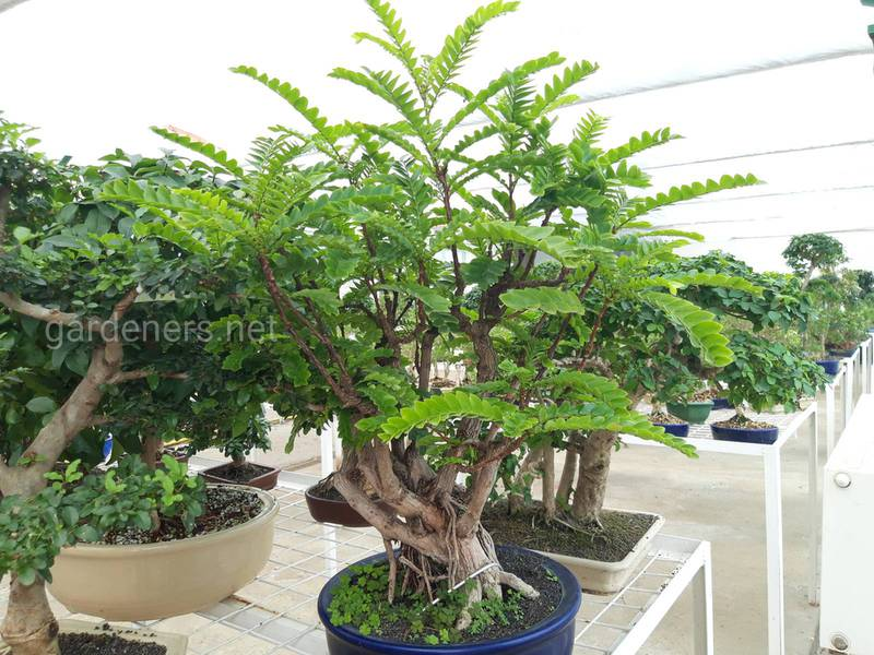 Що символізує дерево бонсай?