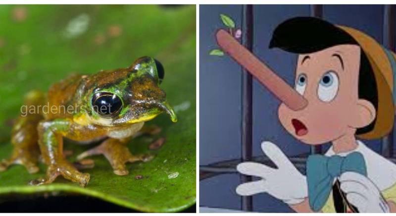 Знакомьтесь - очаровательная лягушка по имени Пиноккио!