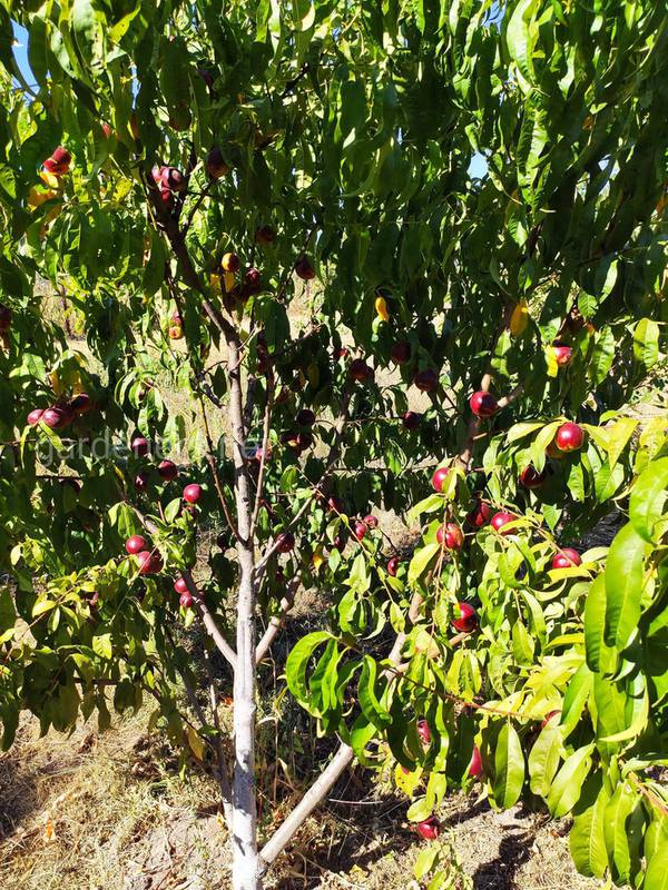 Борошниста роса на персику