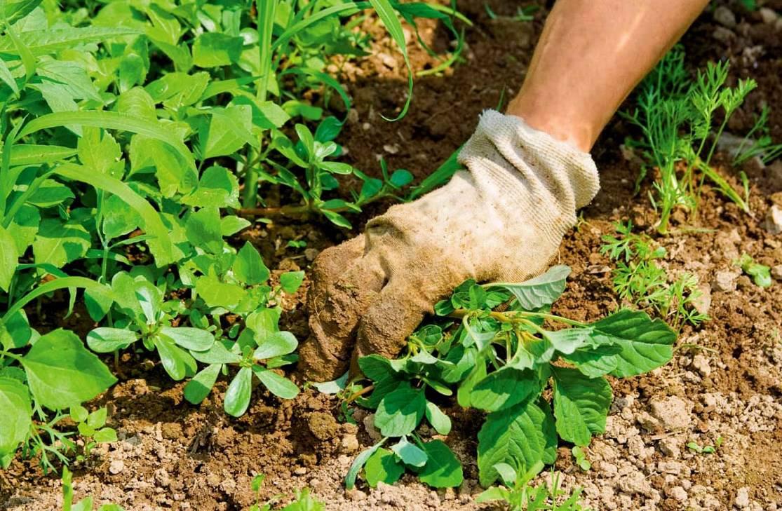 борьба с сорняками - садовые работы в июле