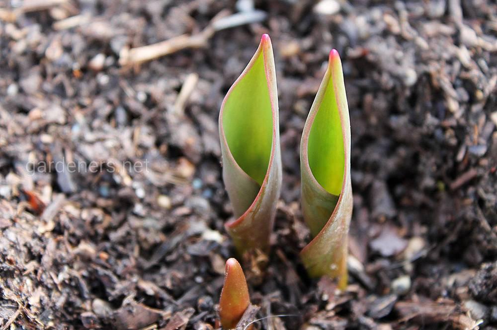Що робити в разі проростання цибулинних восени