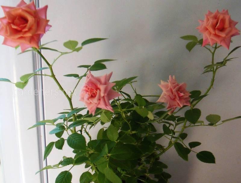 Преимущества выращивания миниатюрных роз в горшках!