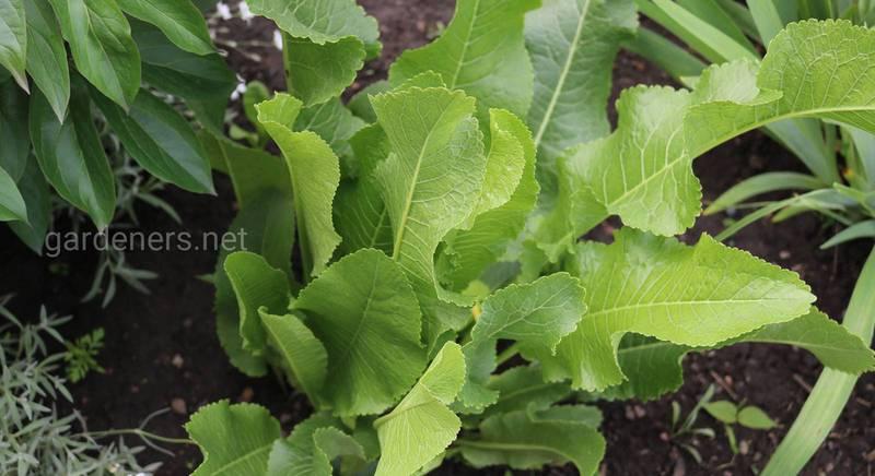 Цілющі властивості листя хрону