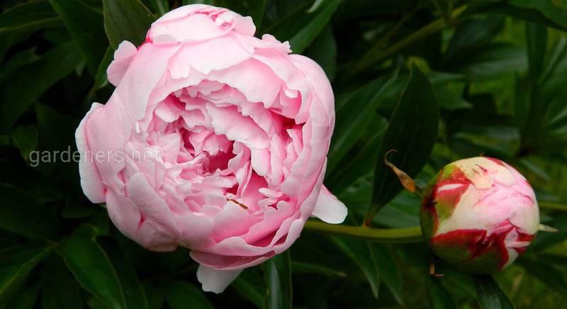 Пионы в горшках: как вырастить необычное украшение сада