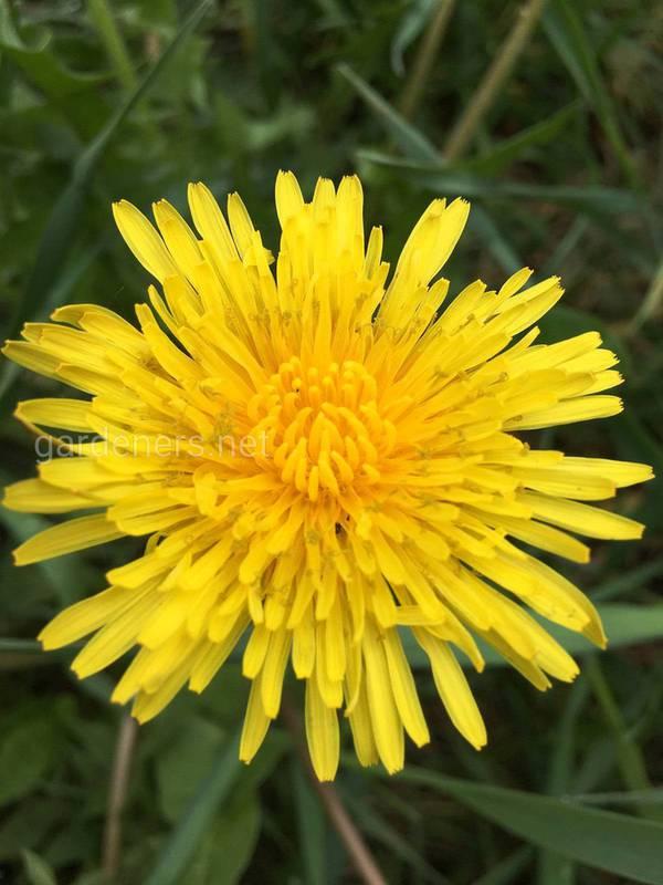 Як приготувати Лікарський «мед» з квіток кульбаби?
