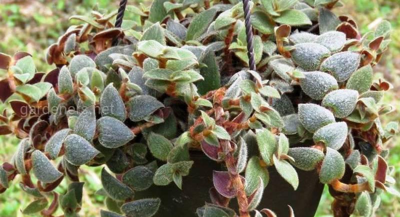 Цианотис выращивание