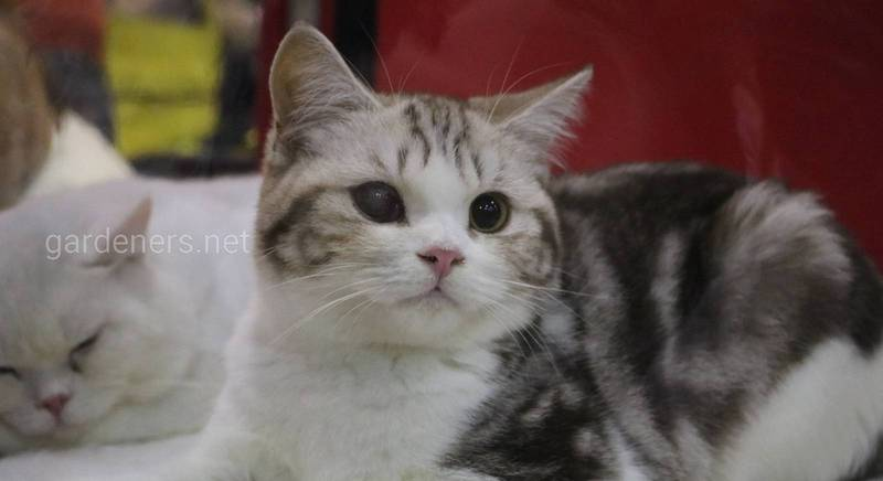Питомник Британских кошек Helprada.JPG