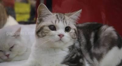 """Питомник Британских кошек """"Helprada"""""""