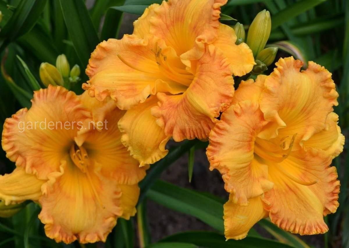 лилейник Orange Nassau