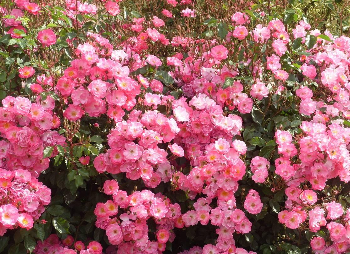 Сорт почвопокровной розы Fair Play