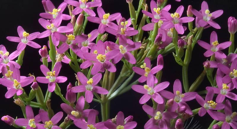 Золототысячник – декоративное и полезное растение