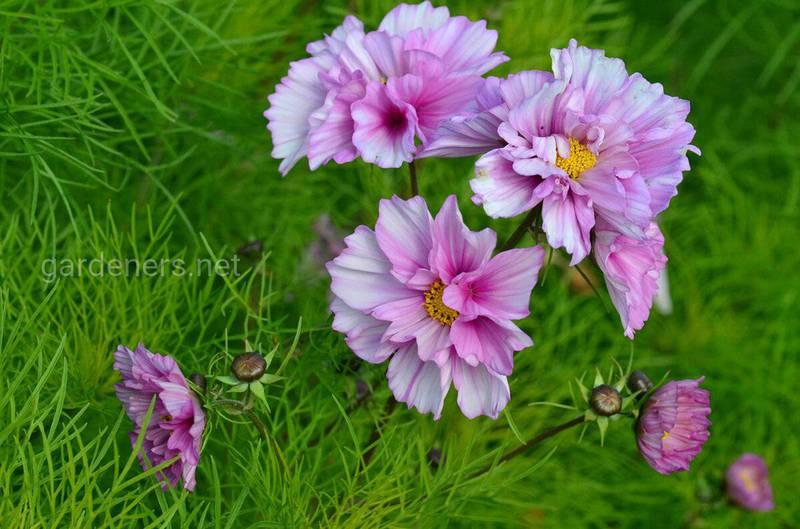 Какие цветы сеять поздней осенью?