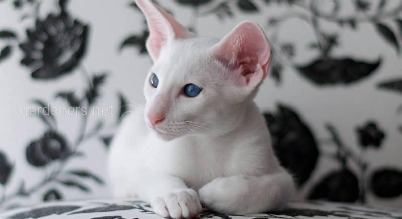 Сейшельский синеглазый кот