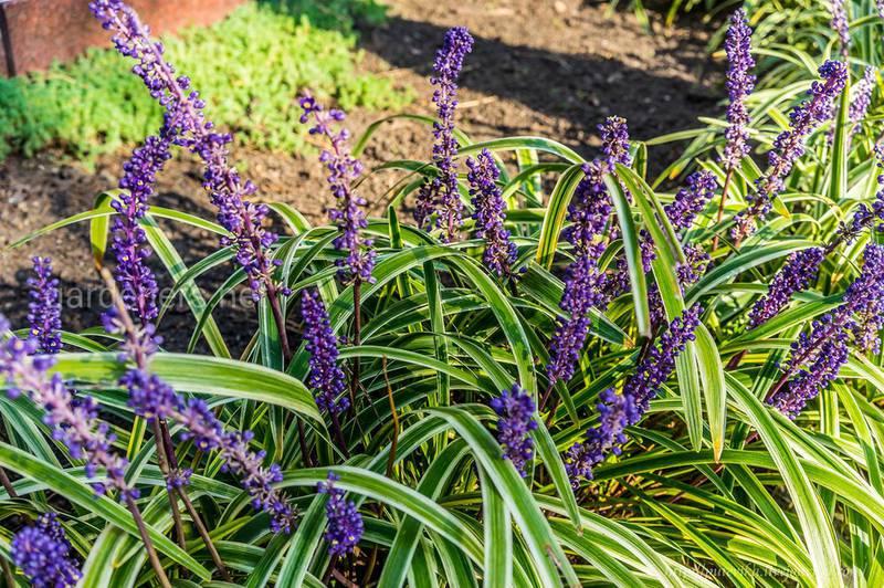 Лириопе - посадка цветов в саду!