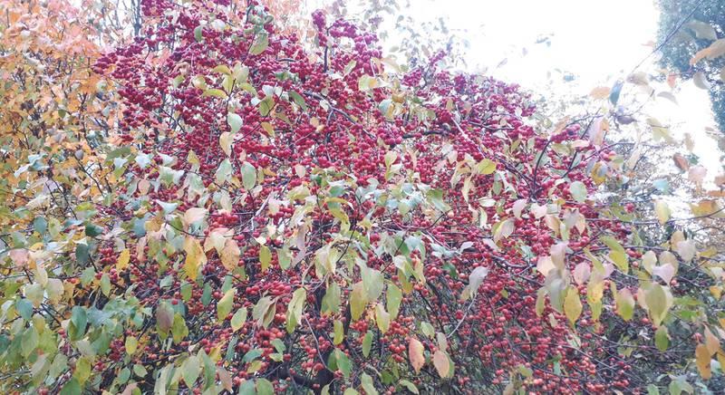 Коротко о декоративных яблонях