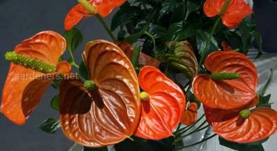Антуриум — многолетний цветок из семейства ароидных