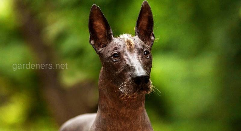 Ксолоитцкуинтли: самая таинственная порода собак