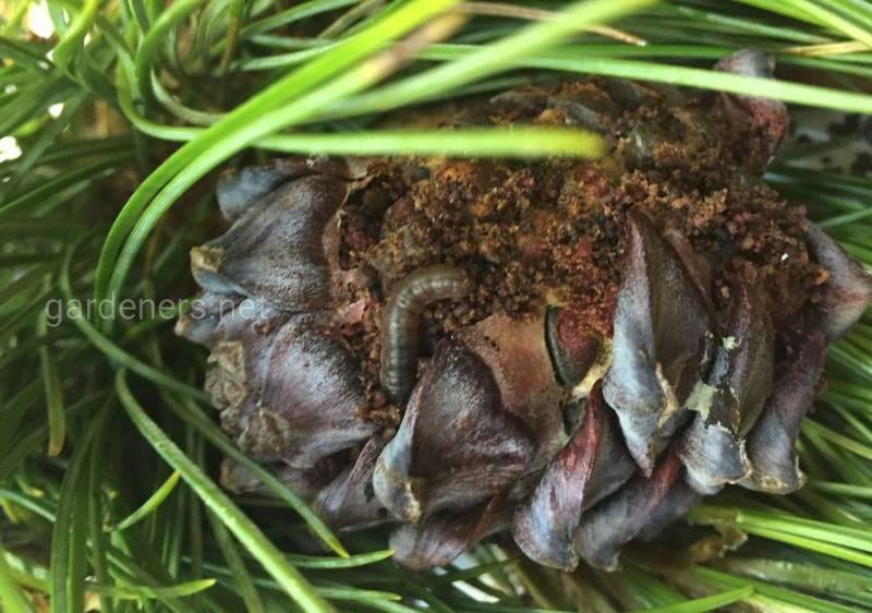 Кукурудзяний метелик- загроза і для овочів, і для квітів!