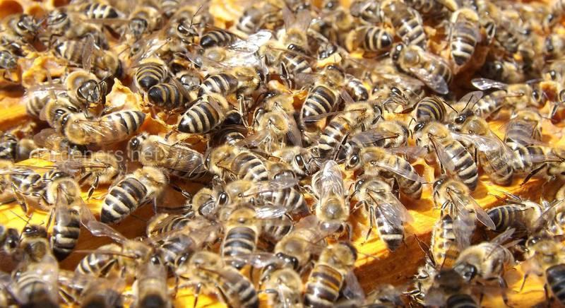 гнезда пчел