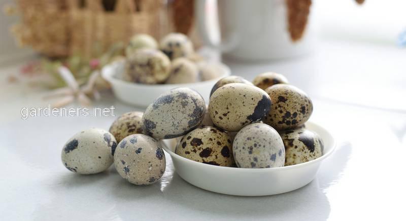 Яйца перепелиные домашние, 20 шт