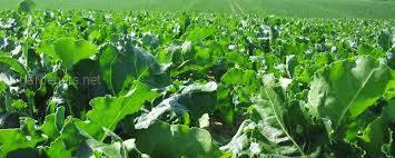 Как вносить органические и минеральные удобрения при выращивании корнеплодов?