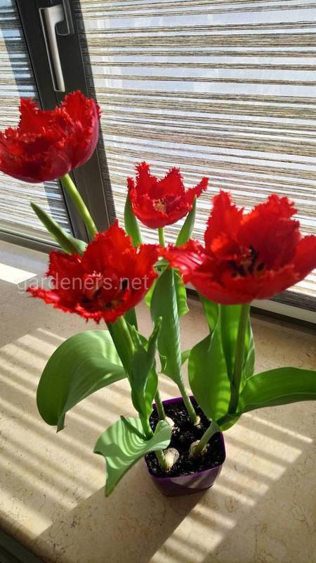 Як вирощувати тюльпани в горщику?