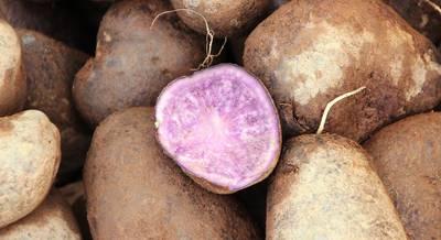 фиолетовая картошка.jpg