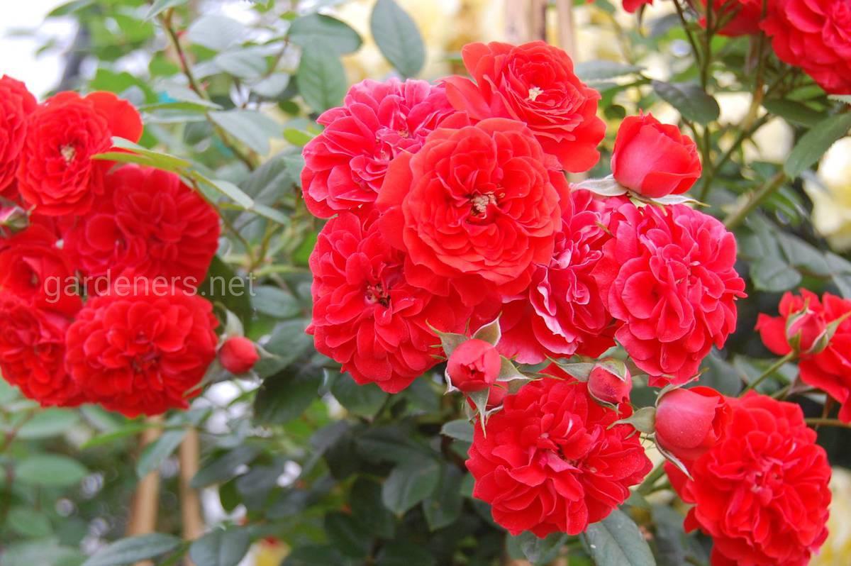 Плетистая роза «Orange Meillandina»