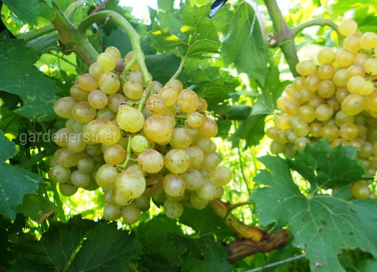 Сорт винограда Ниагара