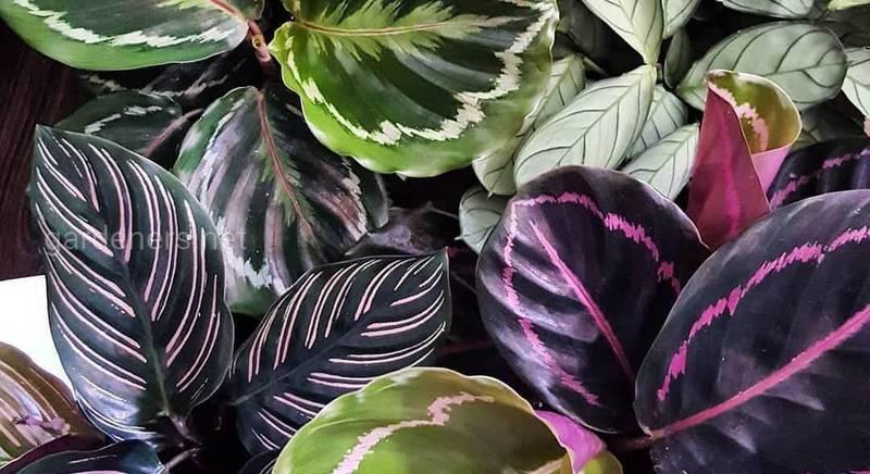 Які кімнатні рослини не потребують багато світла?