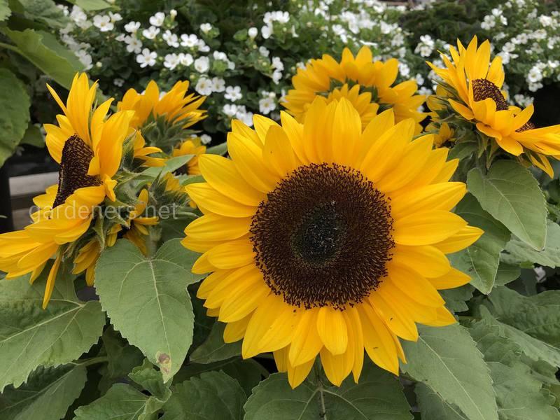 Як виростити соняшник у себе в садку?