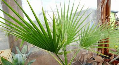 Вашингтония: уникальные виды самой мощной веерной пальмы