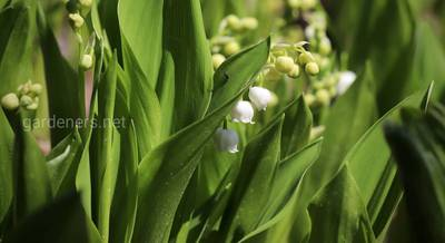 lily-of-the-valley-5104168_1920