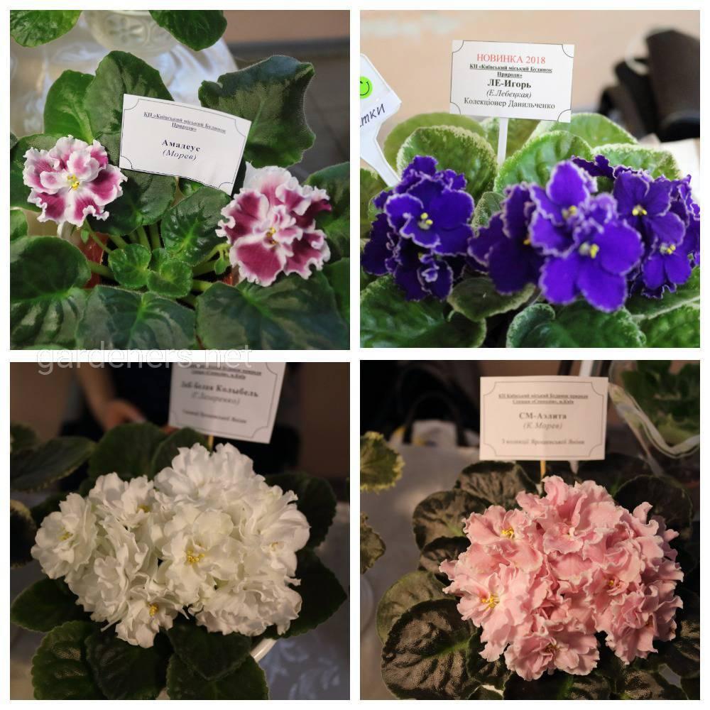 На выставке можно приобрести цветущие фиалки