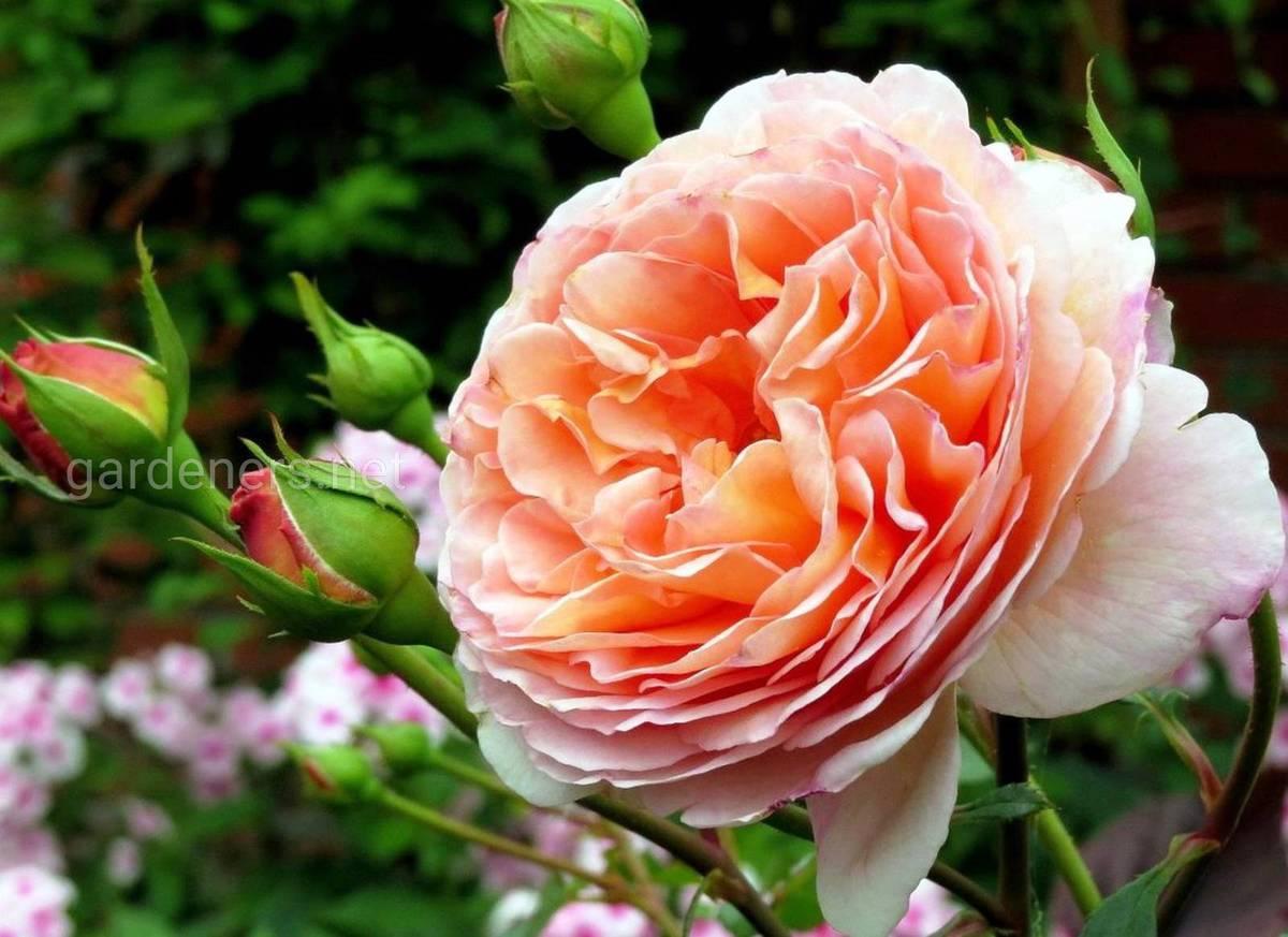 Сорта роз Abraham Darby
