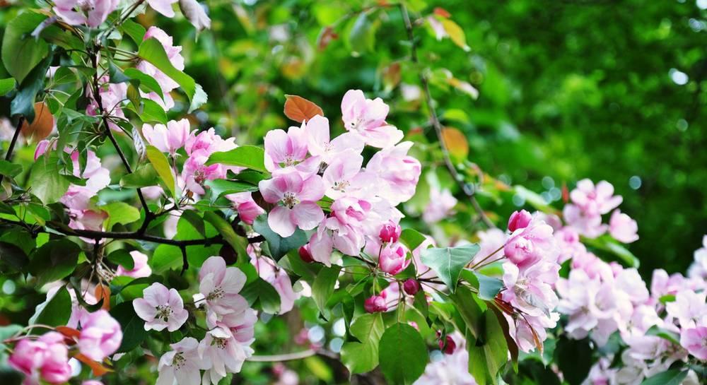 вишня весной.jpg