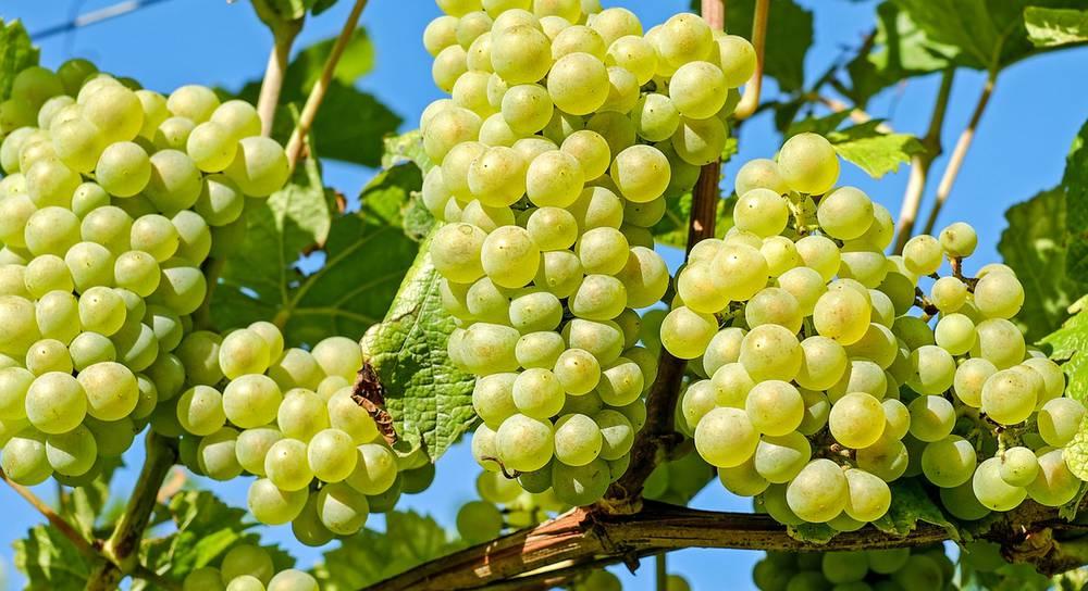 grapes-2656259_1920.jpg