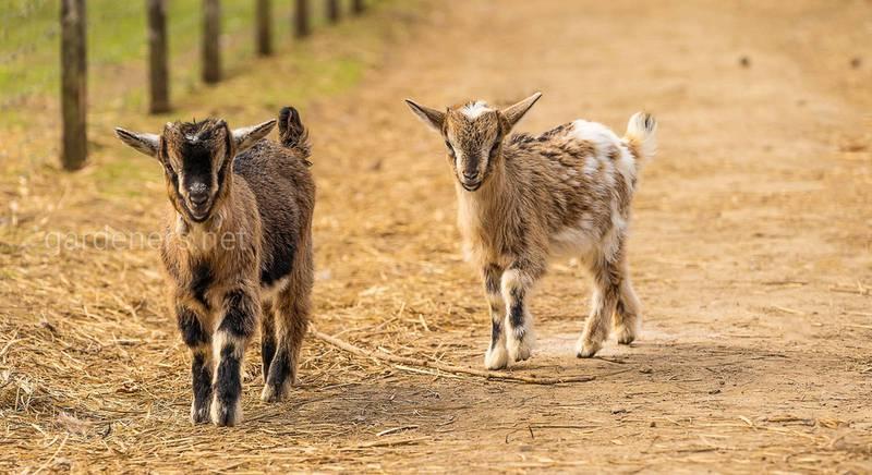 Годування маленьких козенят: корисні рекомендації щодо раціону